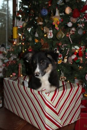 Christmas Pup- Zinger