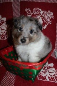 Liberty @ 5 weeks- Blue Merle Girl