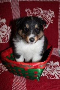 Spangle @ 5 weeks- Tri Color Boy