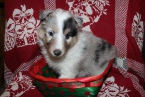 Glory @ 5 weeks- Blue Merle Girl