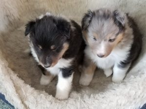 Cake- Tri color Boy & Surprise- Blue Merle Girl